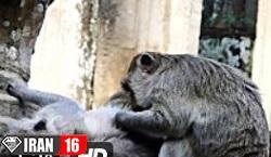 فیلم جفت گیری میمون