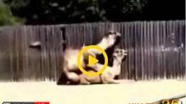 فیلم کامل جفتگیری شتر جفت گیری حیوانات در مزرعه
