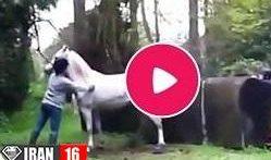 فیلم کشش و جفت گیری اسب عرب جفتگیری حیوانات اهلی