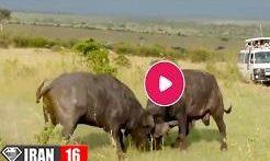 نبرد حیوانات نر برای جفت گیری با جفت ماده در فصل جفت گیری حیوانات فیلم