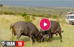 نبرد حیوانات نر برای جفت گیری با جفت ماده در فصل جفت گیری حیوانات / فیلم