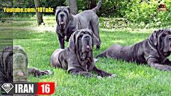 ۱۰ تا از خطرناک ترین نژادهای سگ در جهان FULL HD