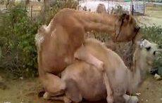 جفت گیری شتر های جوان و آماده حاملگی