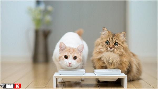 زمان-جفت-گیری-در-گربه-ها-1