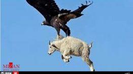 شکار بز کوهی توسط عقاب طلایی