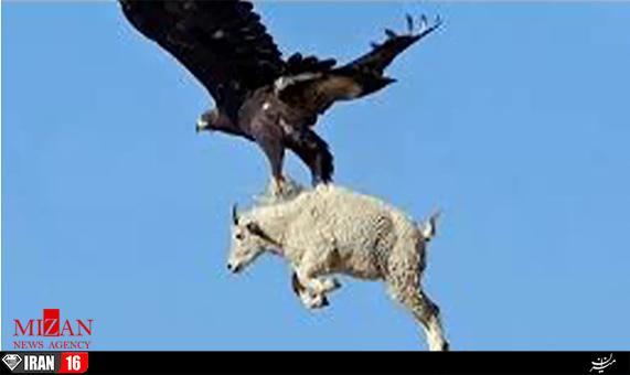 جفت گیری عقاب و نحوه تولیدمثل عقابها را در آپارات ببینید