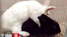 فیلم جفت گیری خرگوش نر با خرگوش ماده +18
