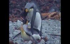 فیلم جفت گیری پنگوئن امپراطور