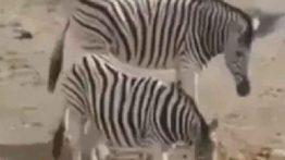 فیلم جفت گیری گورخرها در باغ وحش