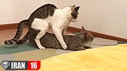 جفت گیری گربه + جفت گیری خنده دار گربه ها