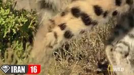 مبارزه گربه وحشی با مار سمی