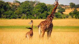 جفتگیری زرافه در جنگل های آفریقا