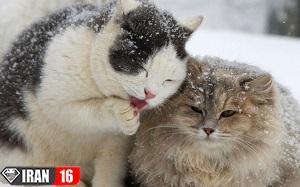 جفت گیری گربه پرشین ایرانی