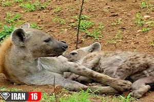 تولید مثل و زایمان حیوانات در حیات وحش + فیلم +18