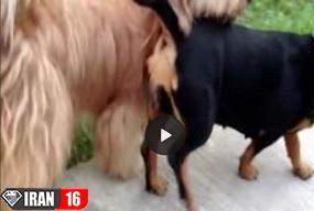 جفت یابی سگ در فصل جفت گیری + فیلم