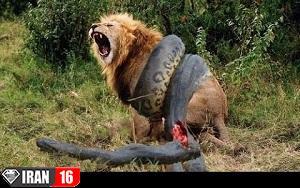 جنگ شیر با مار آناکوندا در جنگل + فیلم,حیوانات