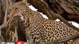 حمله پلنگ به لانه جغد فیلم