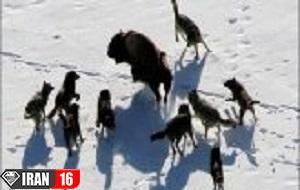 حمله ۲۵ گرگ وحشی به گاومیشهای آمریکایی | فیلم