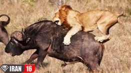 10 صحنه برتر شکار در حیات وحش | فیلم