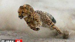 فیلم خیز سرعتی چیتا برای شکار آنتلوپ