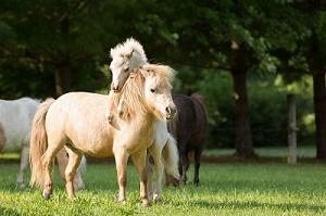 آموزش جفت گیری اسب در مزرعه پرورش اسب