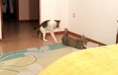 جفتگیری گربه