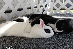 جفت گيري خرگوش با گربه