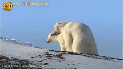 جفت گیری خرس قطبی در فصل زمستان در حیات وحش