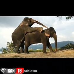 جفت گیری در فیل ها