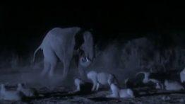 حمله شبانه ۳۰ شیر گرسنه به گله فیلها و شکار یک گوساله فیلم