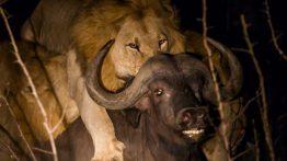 حمله شیرهای نر گرسنه به گله بوفالوها فیلم