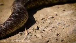 حیات وحش ایران، گوند مار Rat Snake