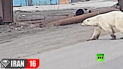 خرس قطبی گرسنه و عصبانی در منطقه مسکونی سیبری روسیه