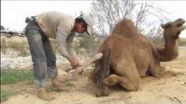 زایمان شتر ماده در بیابان به کمک ساربان فیلم 18+
