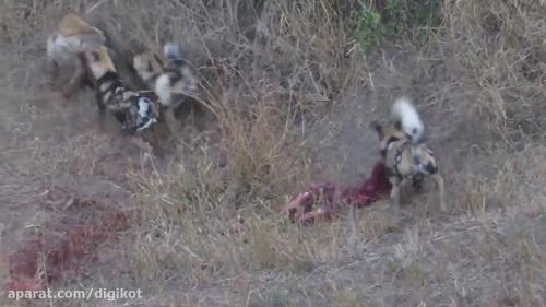 زنده خواری وحشتناک آهو توسط سگ های وحشی و کفتار خیلی خفن😯😲