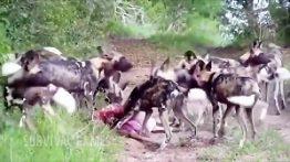 شکارهای سهمگین سگ های وحشی