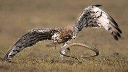 شکار حیوانات توسط مار و عقاب