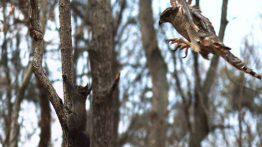 شکار پر دردسر سنجاب توسط شاهین فیلم