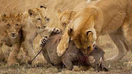 شکار گراز وحشی توسط شیر ماده فیلم