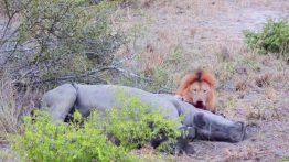 شیر نر کرگدن را زنده زنده میخورد فیلم
