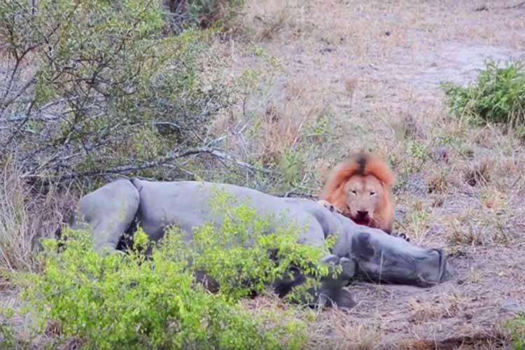 شیر نر کرگدن را زنده زنده میخورد | فیلم