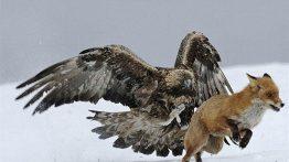 صحنه هایی حیرت انگیز از درگیری و شکار عقاب ها فیلم