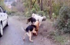 مبارزه سگ ها برای جفت گیری