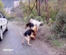 مبارزه سگها برای جفت گیری