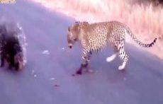 مبارزه مرگبار حیوانات وحسی مار پیتون، یوزپلنگ، خارپشت