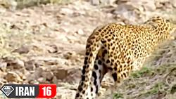 یوزپلنگ بعد از شکار گوزن خود شکار شیر میشود