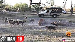 حمله ماده شیر به سگهای وحشی آفریقایی (دیدنی)