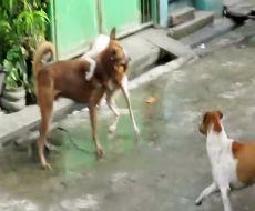 مبارزه سگ های نر خیابانی برای   با سگ ماده