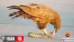 شکار مار توسط پرنده عقاب