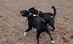 جنگ و نبرد خونبار بین سگ های وحشی